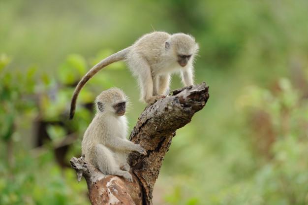 ฝันเห็นลิงหลายตัวหมายถึง