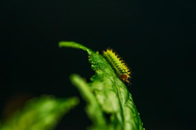 closeup shot caterpillar green leaf 181624 33514 1