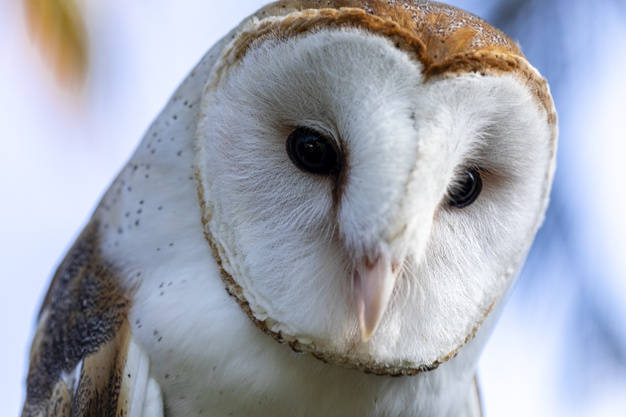 barn owls family tytonidae are one two families owls 208861 681