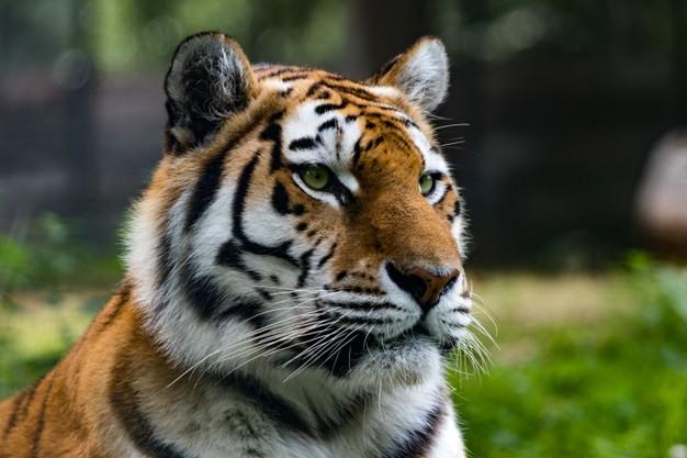 ฝันเห็นเสือโคร่ง