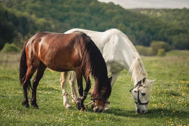 horse alezan brown ride mane 1303 389