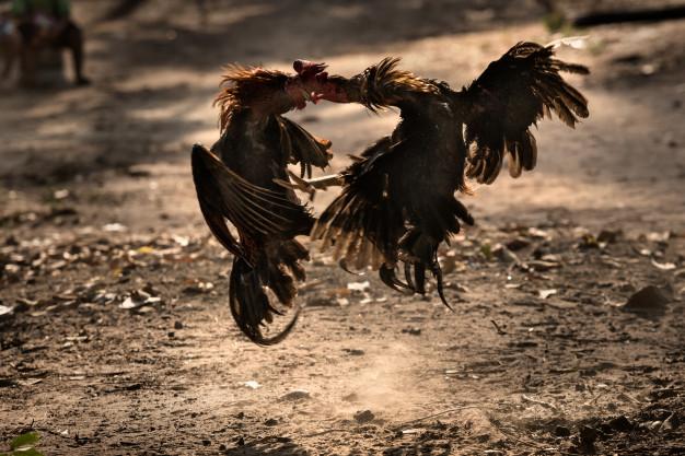 ตีไก่