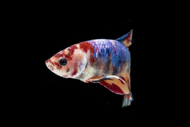 ปลากัดนีโม่