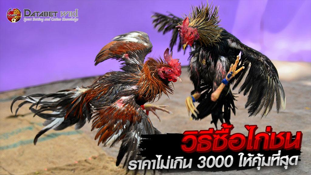 ไก่ชนราคาไม่เกิน3000