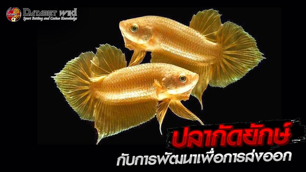 ปลากัดยักษ์