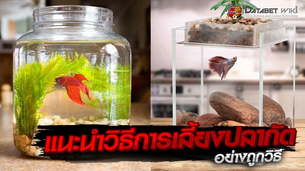 การเลี้ยงปลากัด
